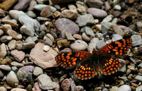 Orange and black butterfly on gravel stream bed Thompson Falls, MT