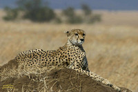 Cheetah on a termite mound Serengeti Tanzania Africa