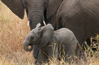 Elephant Mom and New born Baby - Serengeti