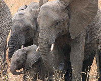 Elephant Mom, Sis and New Born Baby Tarengeri Park Tanzania Serengeti