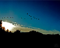 Geese in Flight-3