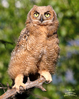 Great Horned Owl Young Lee Metcalf WLR MT-3
