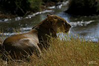 Lioness lays in wait on the Serengeti