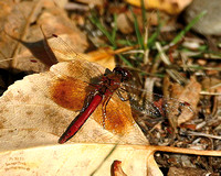 Ruddy Darter Dragonfly Thompson Falls MT-3