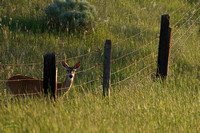 Whitetail Doe behind Fence Missoula MT 8x12-3