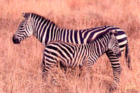 Zebra Mom and Colt