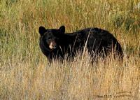 Black Bear 1 Yellowstone-3